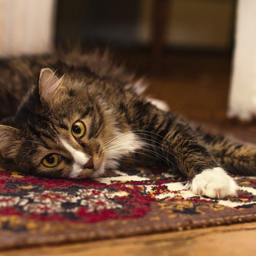 jak usunąć zapach moczu kotaz dywanu