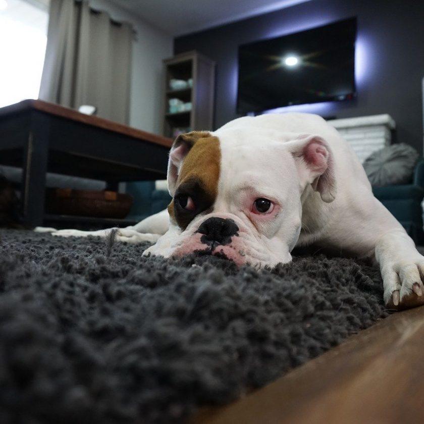 jak usunąć zapach moczu psa z dywanu